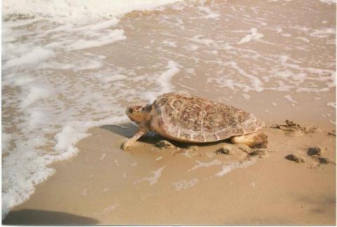 Sea turtle melbourne beach