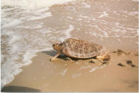Sea turtle melbourne beach