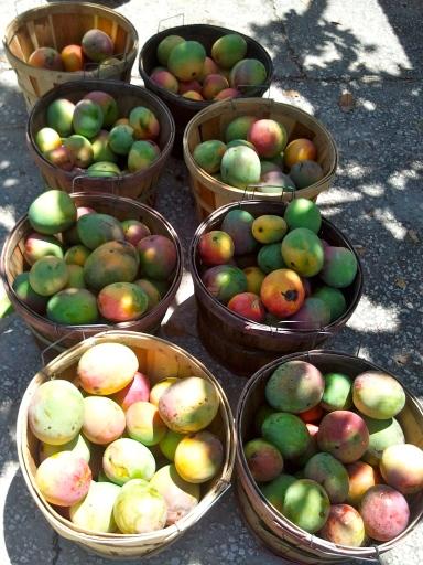 tropical trail mangos